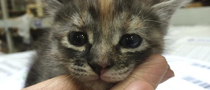 Симптомы ринотрахеита у кошек