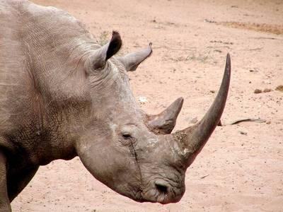 рог белого носорога