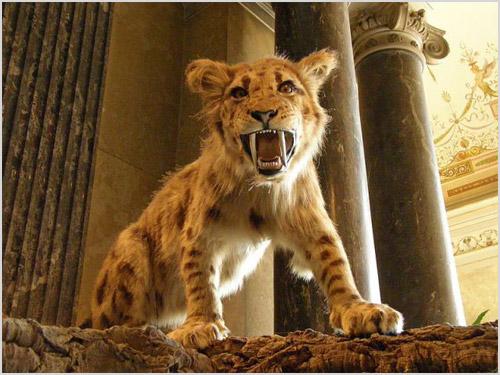 Котенок саблезубого тигра
