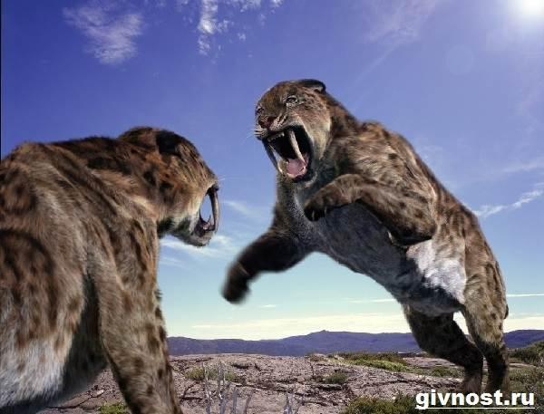 Саблезубый-тигр-Описание-особенности-и-среда-обитания-саблезубых-тигров-1