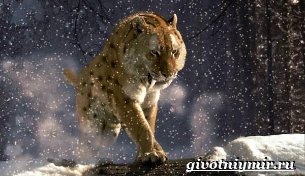 Саблезубый-тигр-Описание-особенности-среда-обитания-саблезубых-тигров-3