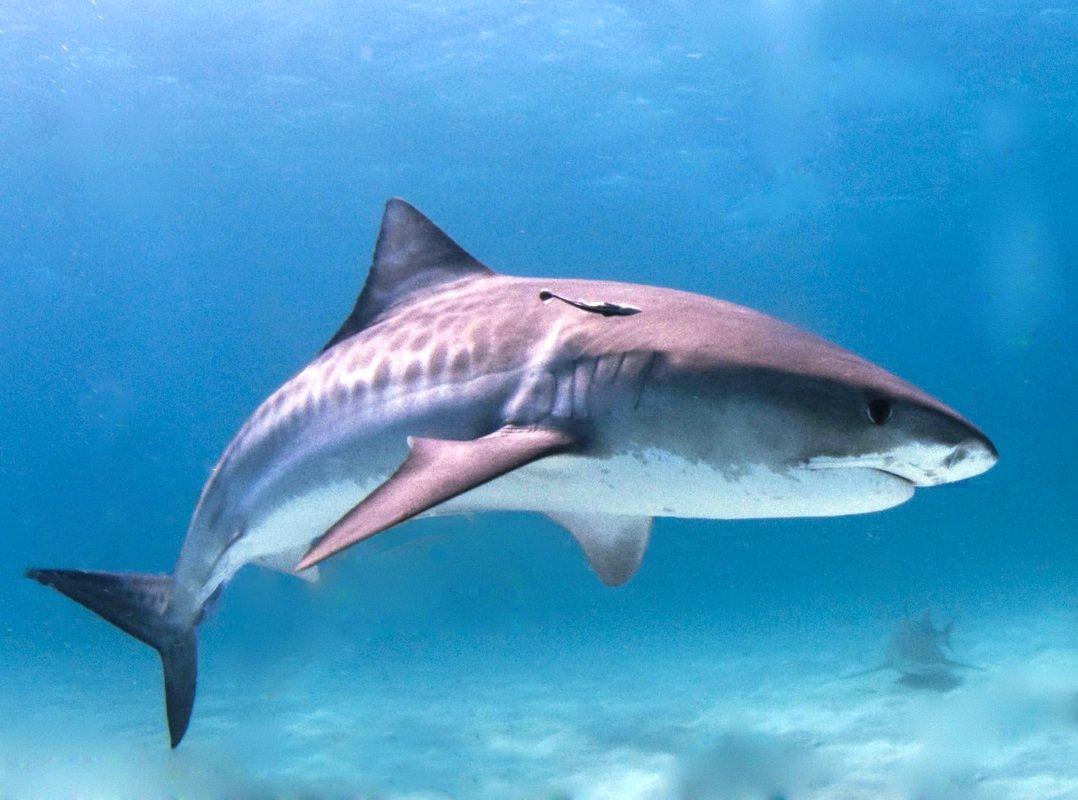 Название акулы связано с формой тела, широким и притупленным рылом, а также агрессивным поведением.