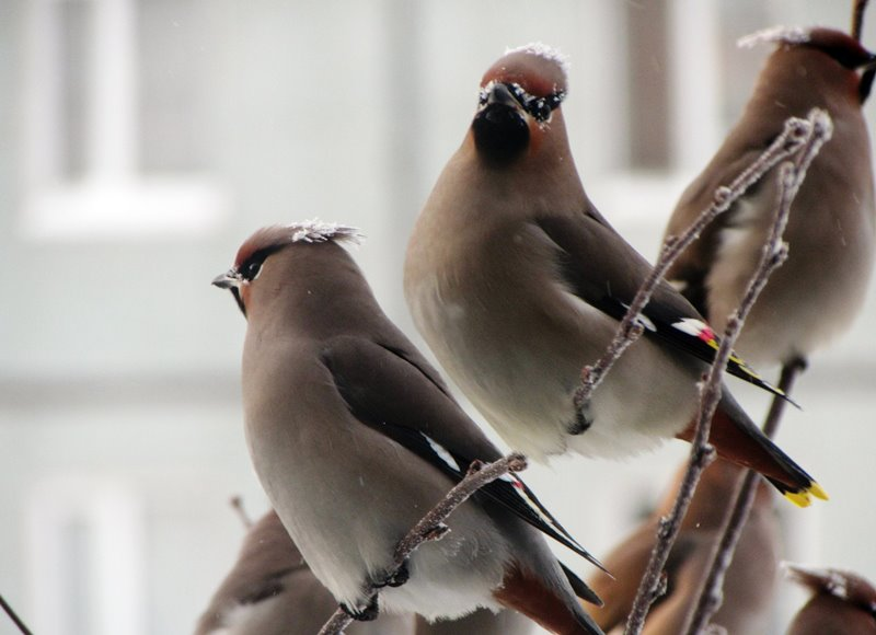 Птица с хохолком именем