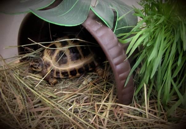 сено как грунт для черепахи