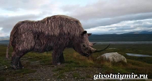 Шерстистый-носорог-Описание-особенности-среда-обитания-шерстистого-носорога-4