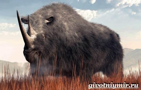 Шерстистый-носорог-Описание-особенности-среда-обитания-шерстистого-носорога-8