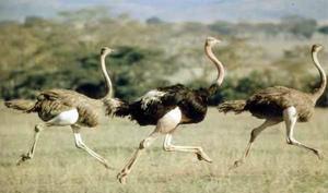Где обитают страусы