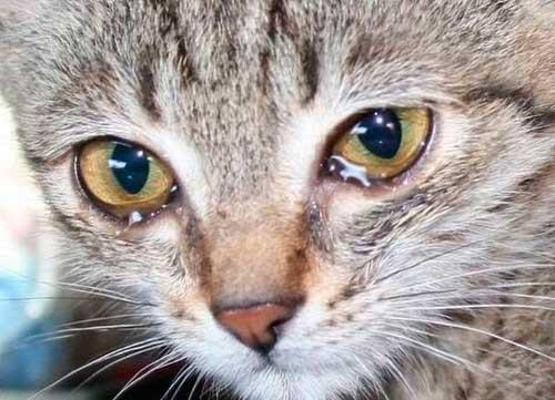 Слезотечение у кошки