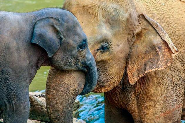 Самым крупным слоном на планете считается Йоси