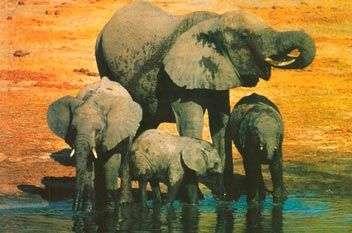 Продолжительность жизни слона. Сколько лет живет слон в различных условиях?