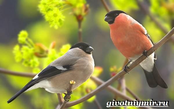Снегирь-птица-Описание-особенности-образ-жизни-и-среда-обитания-снегиря-2