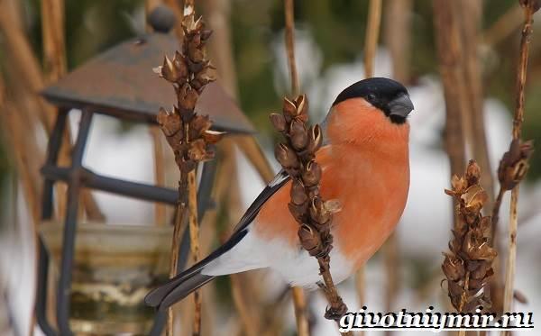 Снегирь-птица-Описание-особенности-образ-жизни-и-среда-обитания-снегиря-3