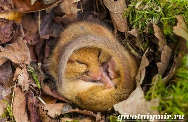 Соня-животное-Образ-жизни-и-среда-обитания-сони-5