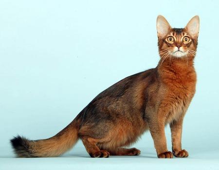 Стандарты внешнего вида сомалийской кошки