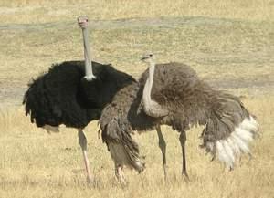 Рацион африканского страуса
