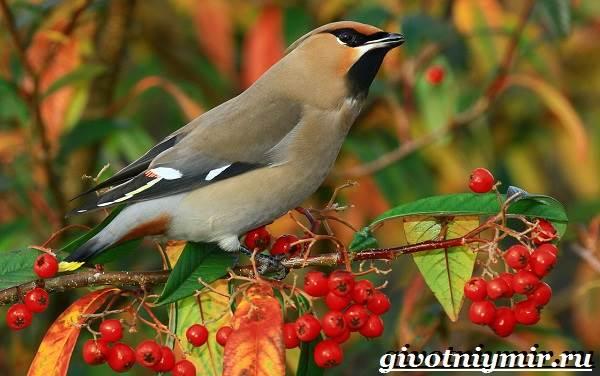 Свиристель-птица-Описание-среда-обитания-и-образ-жизни-свиристели-1