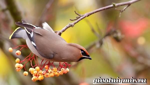 Свиристель-птица-Описание-среда-обитания-и-образ-жизни-свиристели-6