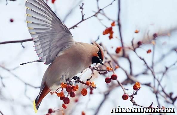 Свиристель-птица-Описание-среда-обитания-и-образ-жизни-свиристели-7
