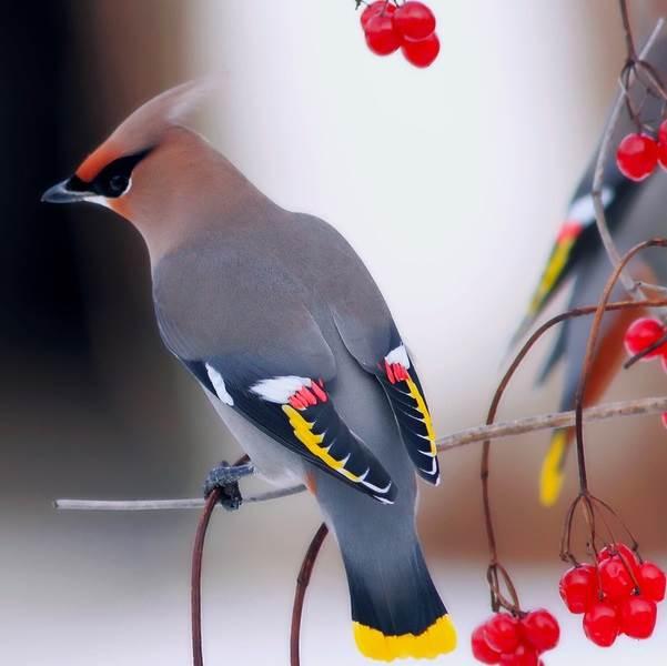Свиристель-птица-Образ-жизни-и-среда-обитания-свиристелей-2