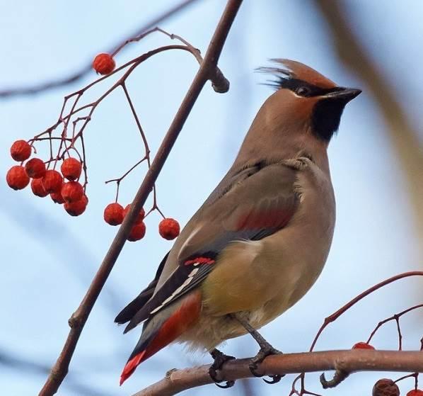 Свиристель-птица-Образ-жизни-и-среда-обитания-свиристелей-4