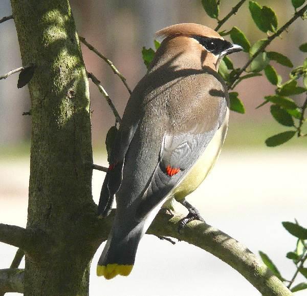 Свиристель-птица-Образ-жизни-и-среда-обитания-свиристелей-6