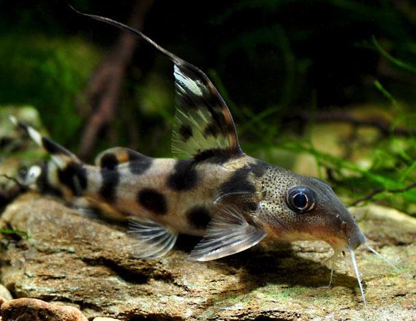 Флаговый синодонтис (Synodontis decorus)