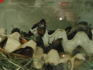 Мадагаскарские шипящие тараканы: описание насекомых, размножение, условия содержания в домашних условиях