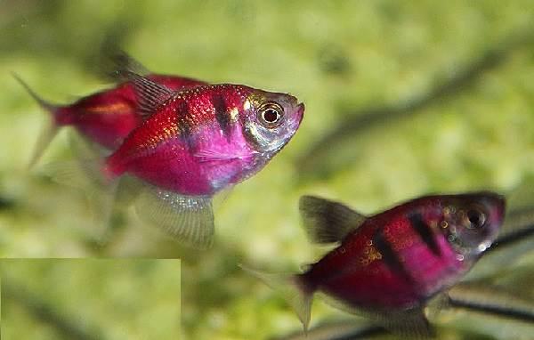 Тернеция-карамелька-рыбка-Описание-особенности-виды-и-уход-за-тернецией-11