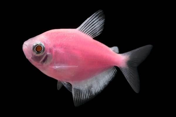 Тернеция-карамелька-рыбка-Описание-особенности-виды-и-уход-за-тернецией-7