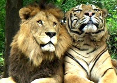 тигр и лев