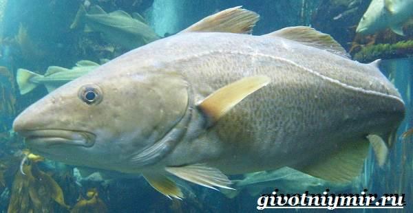 Треска-рыба-Образ-жизни-и-среда-обитания-рыбы-трески-6