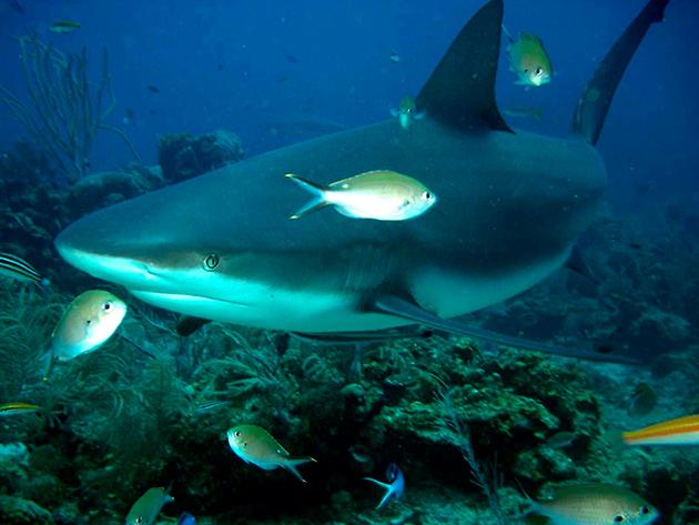 Тупорылая акула распространена практически по всем океанам, за исключением северного ледовитого