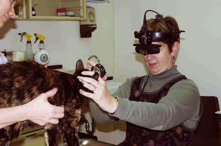 Осмотр кота офтальмологом