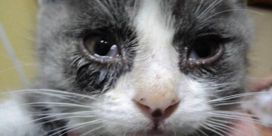У котенка слезятся глаза: что делать?