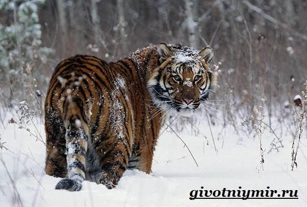 Уссурийский-тигр-Образ-жизни-и-среда-обитания-уссурийского-тигра-5