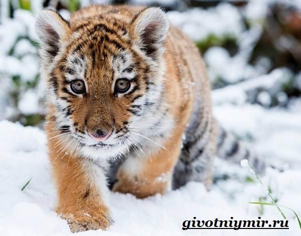 Уссурийский-тигр-Образ-жизни-и-среда-обитания-уссурийского-тигра-6