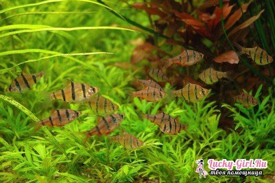 Барбусы: содержание и уход за аквариумными рыбками
