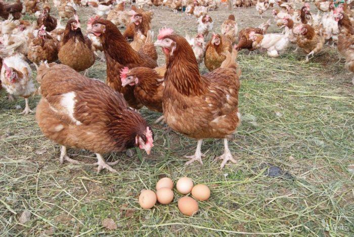 Как проводится яйцекладка?