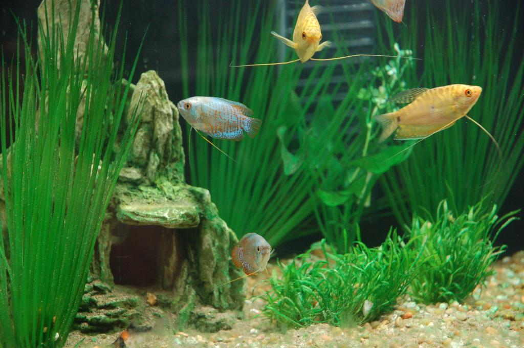 Жизнь гурами в аквариуме