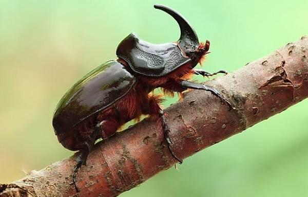 Жук-носорог-Описание-особенности-виды-и-среда-обитания-жука-носорога-13