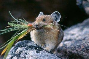 Как выглядит мышь полевка