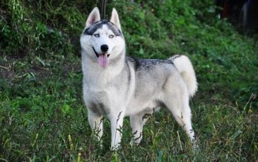 Порода собак сибирский хаски