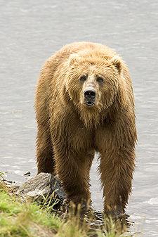 Brown Bear us fish.jpg