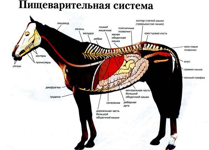 Пищеварительная система лошадей