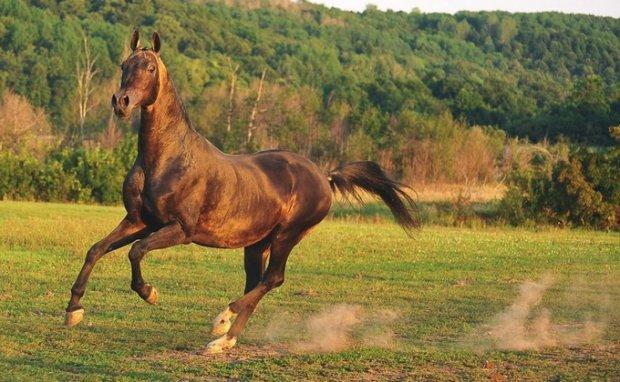 Лошадь ахалтекинской породы
