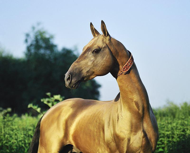 Ахалтекинская лошадь - национальное достояние Турменистана