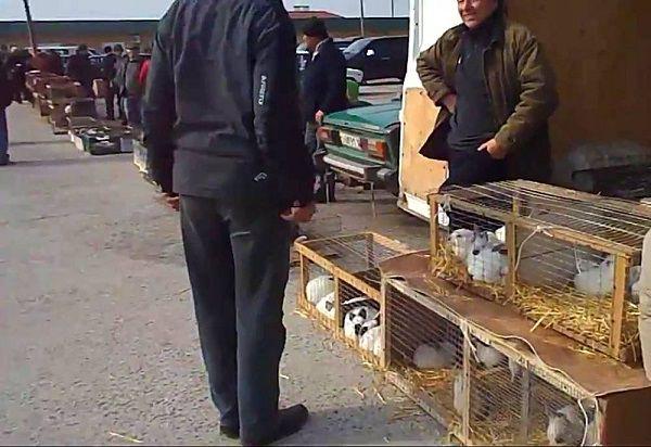 Недобросовестные заводчики сами не умеют определять пол кроликов и продают животных, называя покупателю их половую принадлежность наобум