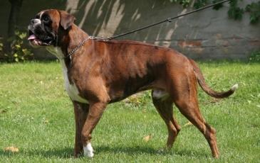 Порода собак немецкий боксер