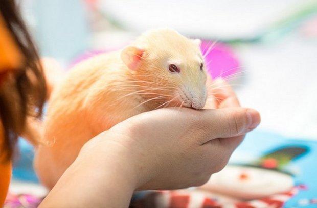 Кормление крысы