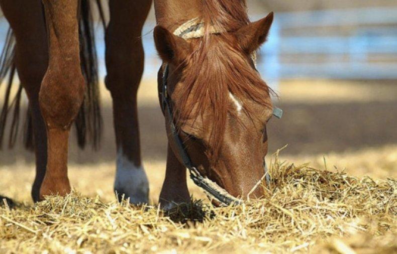 Кормление лошадей сеном